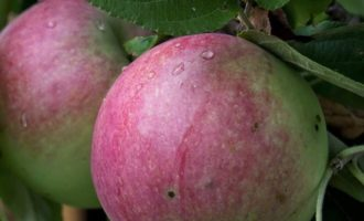 Медовые яблочки в хрустящем мешочке